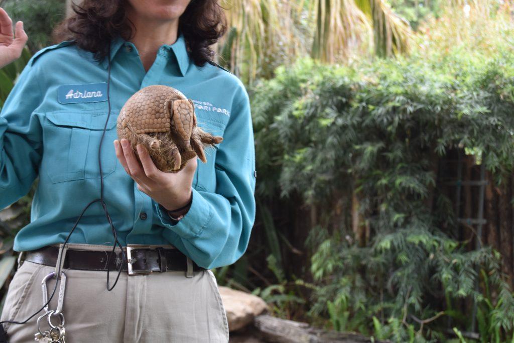 Armadillo at San Diego Zoo Safari Park