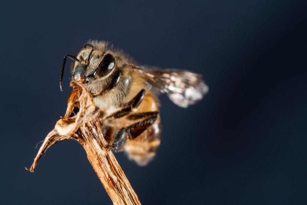 California DMV-Bees