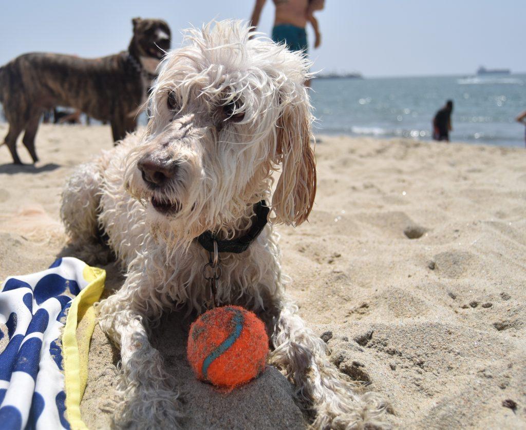 SoCal Day Trip Rosie's Dog Beach-Wet dog sitting in the sand