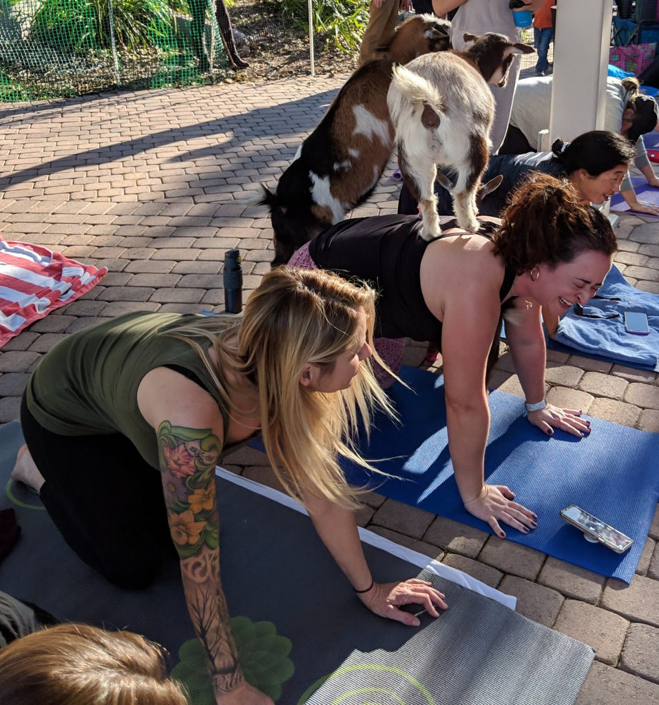 All You Ever Wanted to Know About Goat Yoga