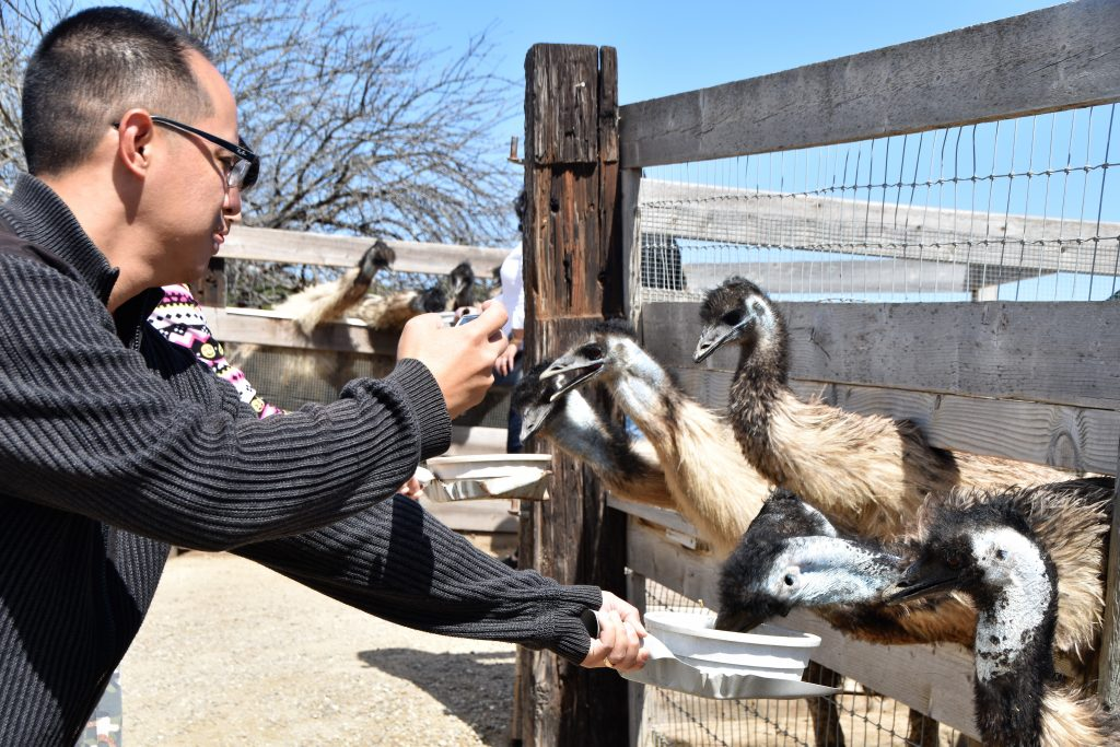 Man feeding animals while taking pictures-Ostrichland USA