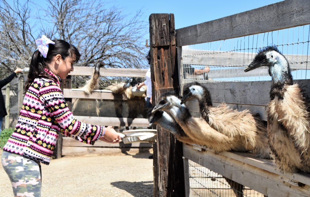 Girl feeding animals at Ostrichland USA: A Fun Road Trip Detour