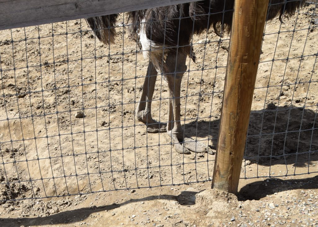 "Check out those ""feet""-Ostrichland USA"