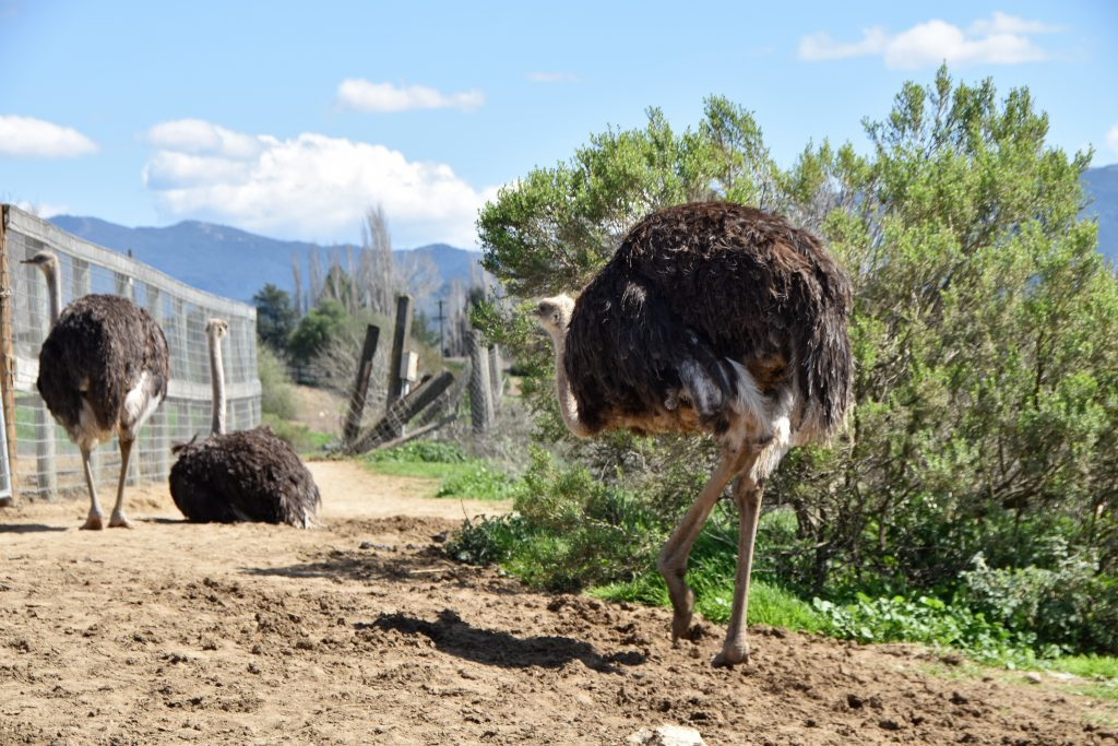 Ostrich walking around at Ostrichland USA: A Fun Road Trip Detour