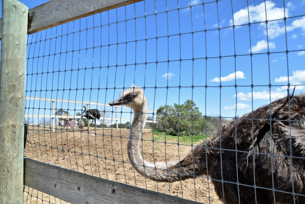 Ostrichland USA: A Fun Road Trip Detour