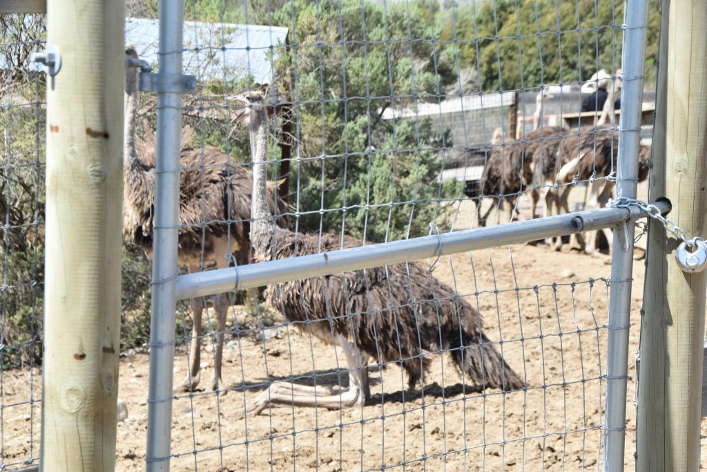 Taking a rest-Ostrichland USA: A Fun Road Trip Detour