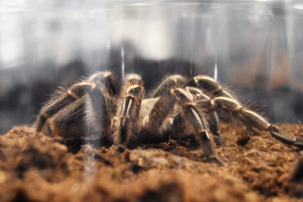 Tarantula at America's Family Pet Expo