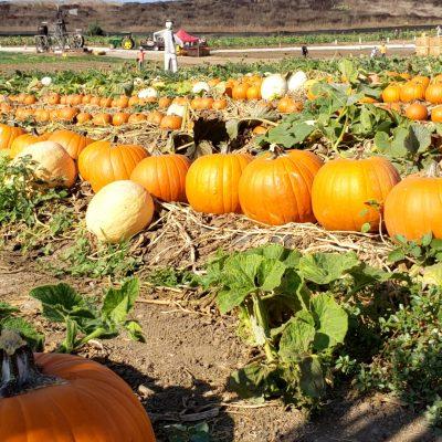 Pumpkin patch field at Tanaka Farms